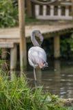 Grotere flamingo die zich op de bank op één been bevindt royalty-vrije stock foto's