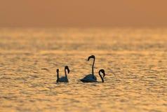 Grotere Flamingo in het ochtend gouden licht royalty-vrije stock afbeeldingen