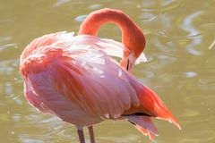 Grotere flamingo - phoenicopterusroseus die - verzorgen royalty-vrije stock foto