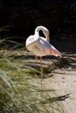 Grotere flamingo (roseus Phoenicopterus) Royalty-vrije Stock Afbeeldingen