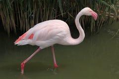 Grotere flamingo (roseus Phoenicopterus) Royalty-vrije Stock Afbeelding
