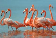 Grotere Flamingo's Stock Afbeeldingen