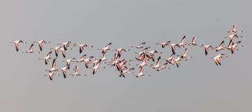 Grotere Flamingo's royalty-vrije stock foto's