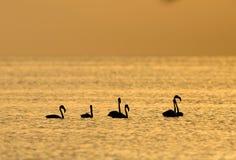 Grotere Flamingo's en het ochtend gouden licht royalty-vrije stock afbeelding