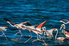 Grotere Flamingo's Kaapstad, Zuid-Afrika Stock Afbeeldingen