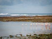 Grotere flamingo's op een rotsachtige kustlijn Stock Afbeelding