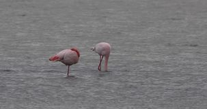 Grotere Flamingoslaap stock footage