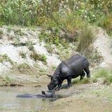 Grotere gehoornde rinoceros in Bardia, Nepal Stock Foto's