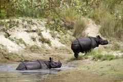 Grotere gehoornde rinoceros in Bardia, Nepal Stock Afbeelding