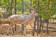 Grotere kudu Stock Foto's