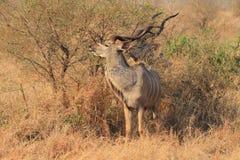Grotere Kudu Royalty-vrije Stock Foto