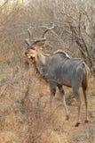Grotere Kudu Royalty-vrije Stock Foto's