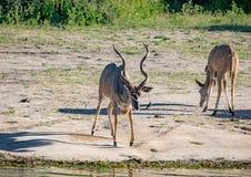 Grotere Kudu-mannetjes bij de rivier Chobe in Botswana stock afbeeldingen