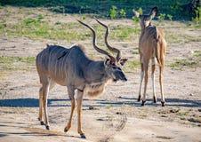 Grotere Kudu-mannetjes bij de rivier Chobe in Botswana royalty-vrije stock fotografie