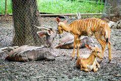 Grotere Kudu-rust in de schaduw van boom royalty-vrije stock afbeelding