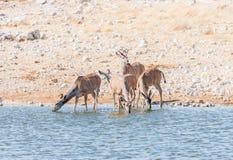 Grotere kudukoeien en jong stieren drinkwater Stock Foto