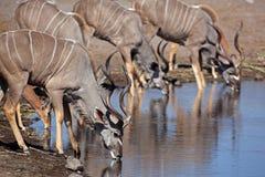 Grotere kudumannetjes bij waterhole, Etosha, Namibië Stock Foto