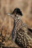Grotere Roadrunner, californianus Geococcyx stock foto's