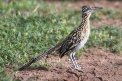 Grotere Roadrunner (californianus Geococcyx) Stock Foto