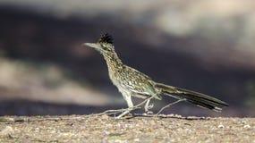 Grotere Roadrunner, de woestijn van Tucson Arizona royalty-vrije stock foto