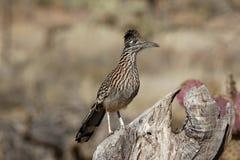 Grotere roadrunner, Geococcyx-californianus royalty-vrije stock foto's