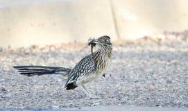 Grotere Roadrunner-vogel met hagedis in bek, Tucson Arizona, de V.S. stock afbeeldingen