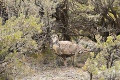 Grotere Sage Grouse Hen Walking In-Alsem royalty-vrije stock afbeeldingen
