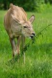Grotere strepsiceros van Kudu - Tragelaphus- Stock Foto's