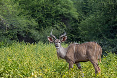 Grotere strepsiceros van Kudu Tragelaphus Stock Foto