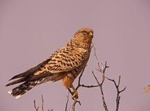 Grotere Torenvalk Falco rupicoloides Stock Foto's