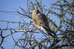 Grotere torenvalk (Falco rupicoloides) in het nationale park van Etosha, Namibië royalty-vrije stock afbeeldingen