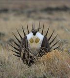 Grotere urophasianus van wijs-Hoencentrocercus bij Lek in SE Wyoming 3 Stock Afbeeldingen