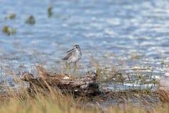 Grotere vogel Yellowlegs Royalty-vrije Stock Foto's