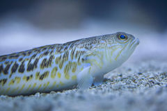Grotere weever & x28; Trachinus draco& x29; Royalty-vrije Stock Foto's