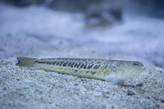 Grotere weever & x28; Trachinus draco& x29; Stock Foto