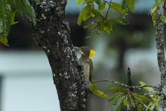 Grotere yellownape op boom stock foto's