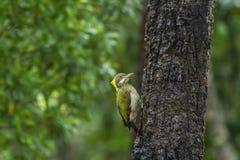 Grotere yellownape op boom stock foto