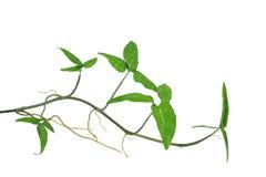 Grotu winogradu Syngonium podophyllum lub Amerykański wiecznozielony iso Obraz Royalty Free