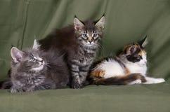 Grou de los gatitos del mapache de Maine Imagen de archivo