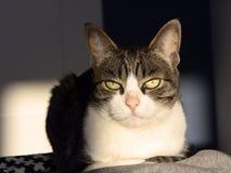 Grouchy крытый кот на освещении захода солнца Стоковые Фото