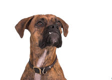 Grouchy Boxerhund Stockfoto
