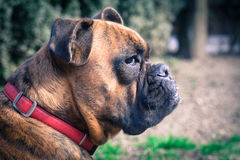 Grouchy dog. Chilling in the park royalty free stock photography