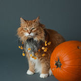 Grouchy Halloween Cat. A very grouchy long haired ginger cat with a pumpkin collar sitting with a pumpkin Royalty Free Stock Photos