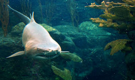 Grouchy Shark. Shark photographed underwater looking terribly grouchy royalty free stock images