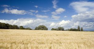 Ground. With golden corn and blue sky Royalty Free Stock Photos