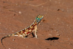 Ground Agama Royalty Free Stock Images