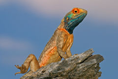 Ground agama Stock Photos