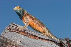 Ground agama Royalty Free Stock Photos