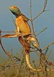 Ground agama. Male ground agama (Agama aculeata) in bright breeding colors, Kalahari, South Africa Royalty Free Stock Photo