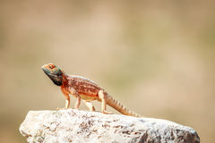 Ground agama basking on a rock. Stock Photos